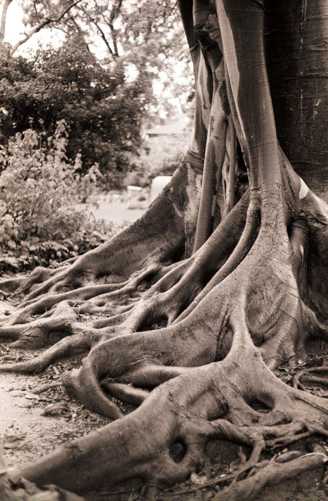 Photograph Moreton Bay Fig Tree by Terry Dickerson on 500px