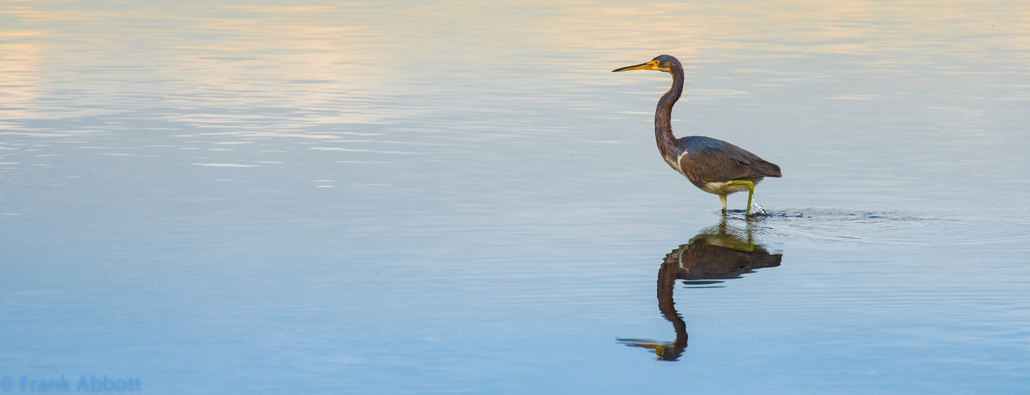 Photograph Tricolored Heron by Franklin Abbott on 500px