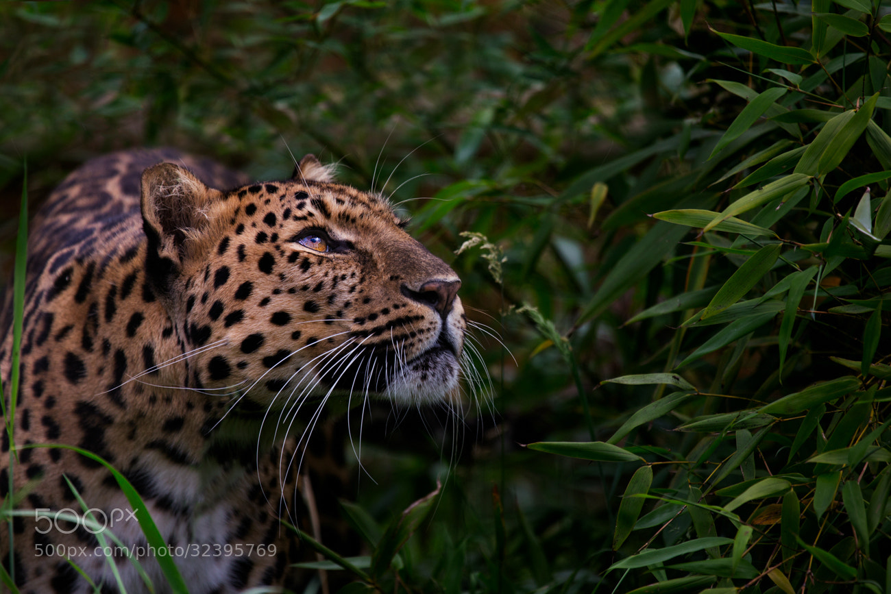 Photograph Amur Leopard by Billy Currie on 500px