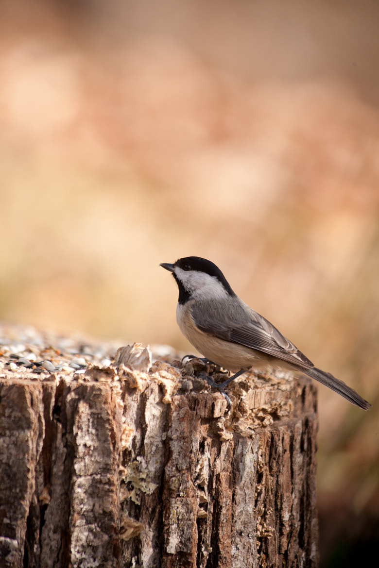 Photograph Chickadee by Sandy Manter on 500px