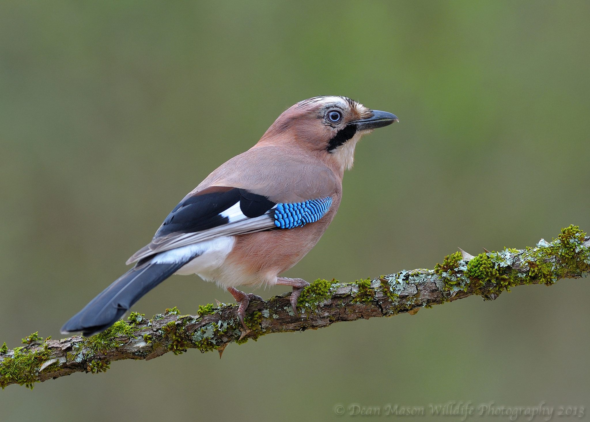 Photograph Thorny Jay  by Dean Mason on 500px