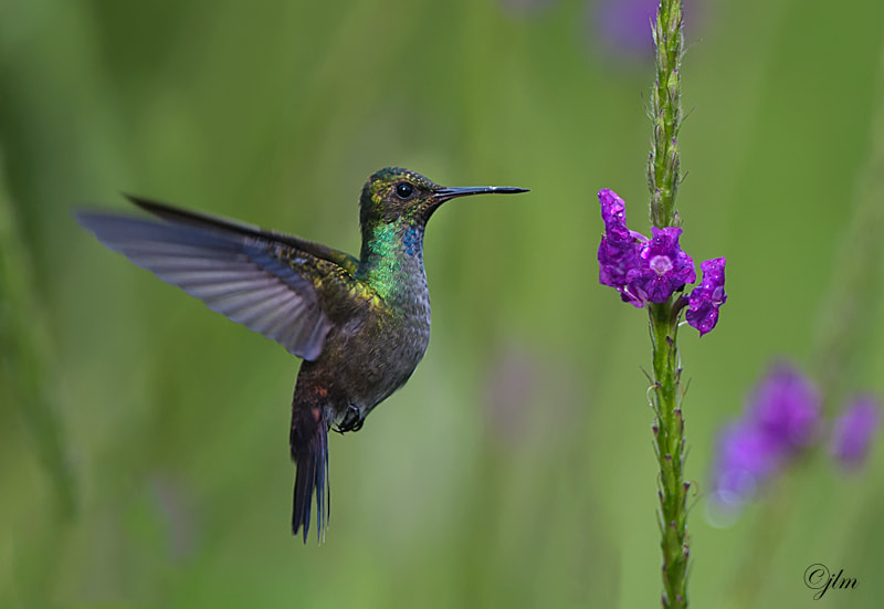 This image was captured at Arenal , Costa Rica where the large volcano is.  /the gardens around Arenal are filled with beautifu humming birds and there are many species there that you will not see in other parts of Costa Rica.  They are so numerous that I am not positive butI believe this one is The Bronze Tailed  Plumeleteer.