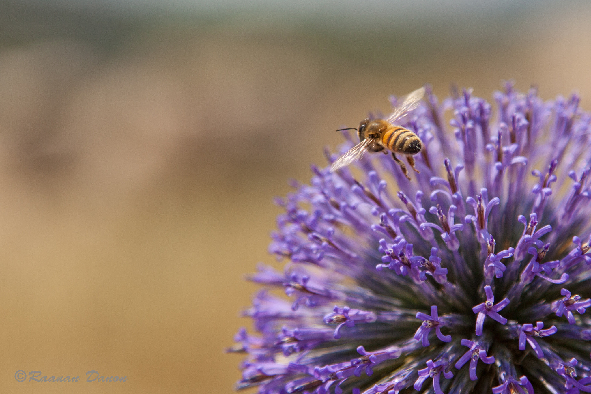 Photograph Bee at Work by Raanan Danon on 500px