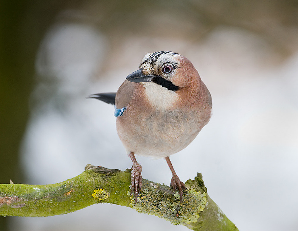 Photograph Jay by Derek Lees on 500px