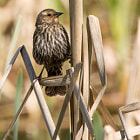 A female red-winged blackbird on bullrushes on the edge of a marsh in Jericho Park, Vancouver, Canada.