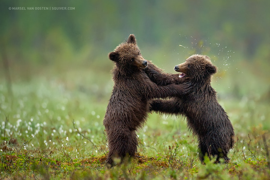 Photograph Smack! by Marsel van Oosten on 500px