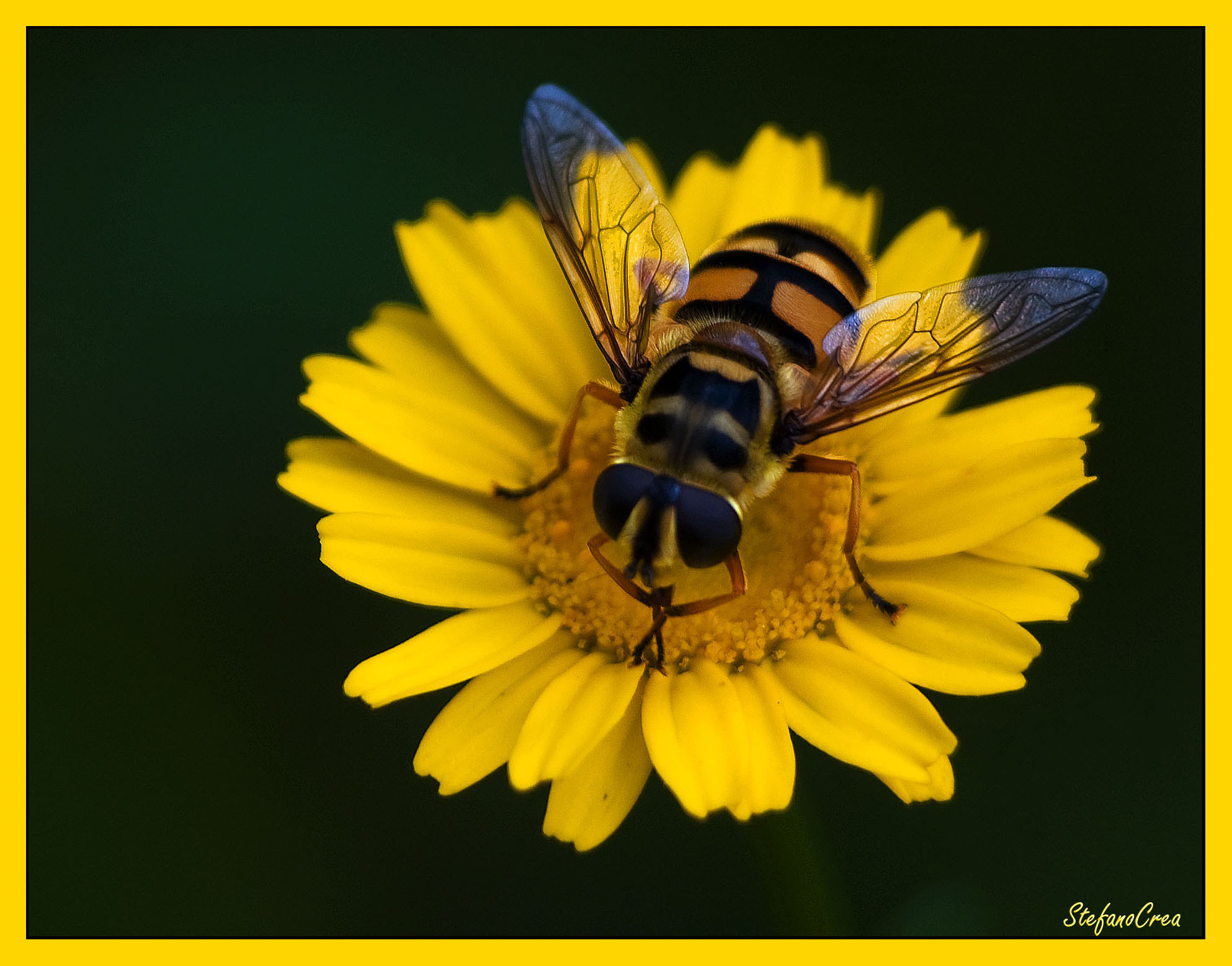 Photograph Yellow daisy by Stefano Crea on 500px
