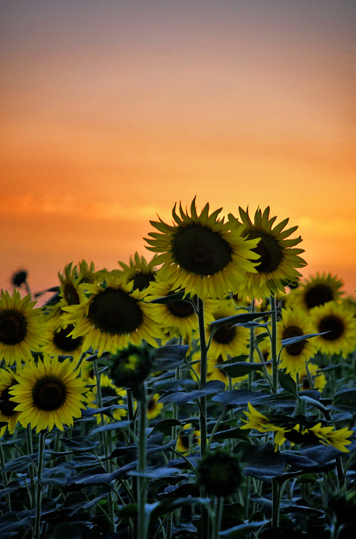 Photograph Evening sunflowers 2 by Otabek Yuldashev on 500px