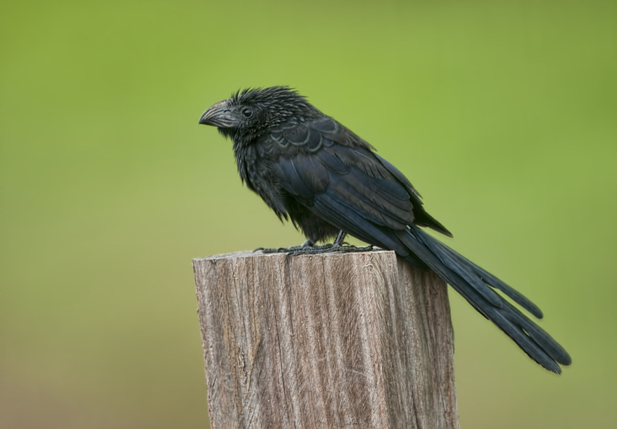 This unusual looking  little bird was sitting on a post along the roadside adjacent to a field where cows were grazing. This was taken last week in Costa Rica near the Nicarauguan border