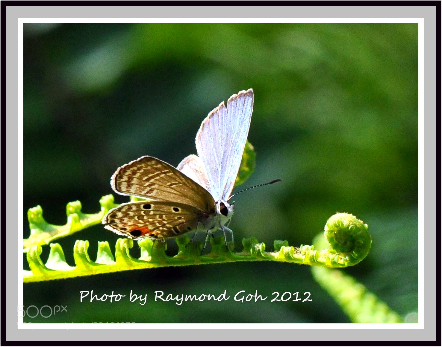 Photograph Butterfly @ Botanic Gardens #3 by GohRaymond Photography on 500px