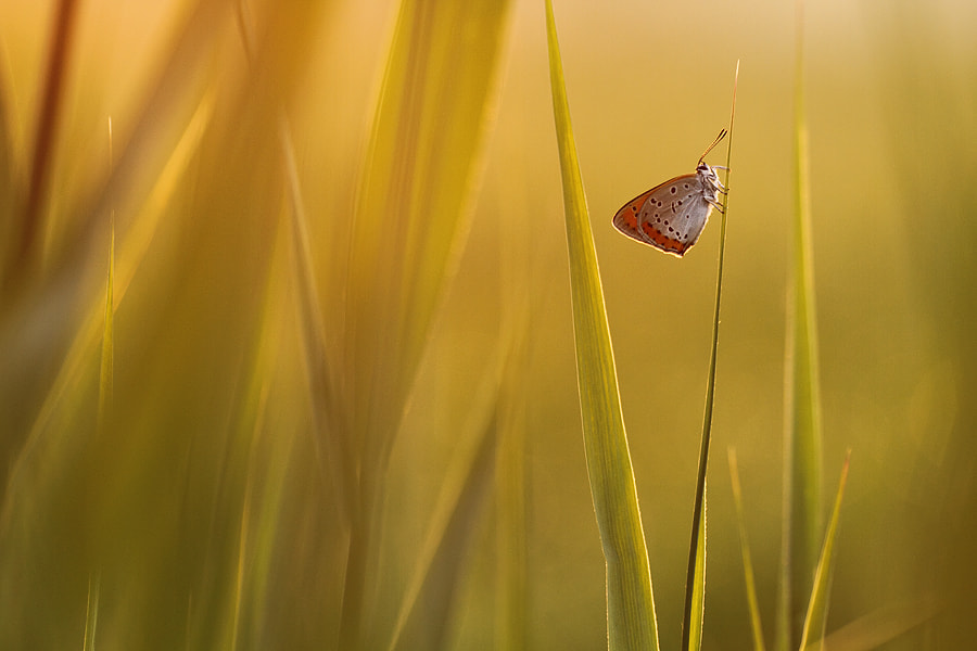Photograph Butterfly in first sunlight by Johannes van Donge on 500px