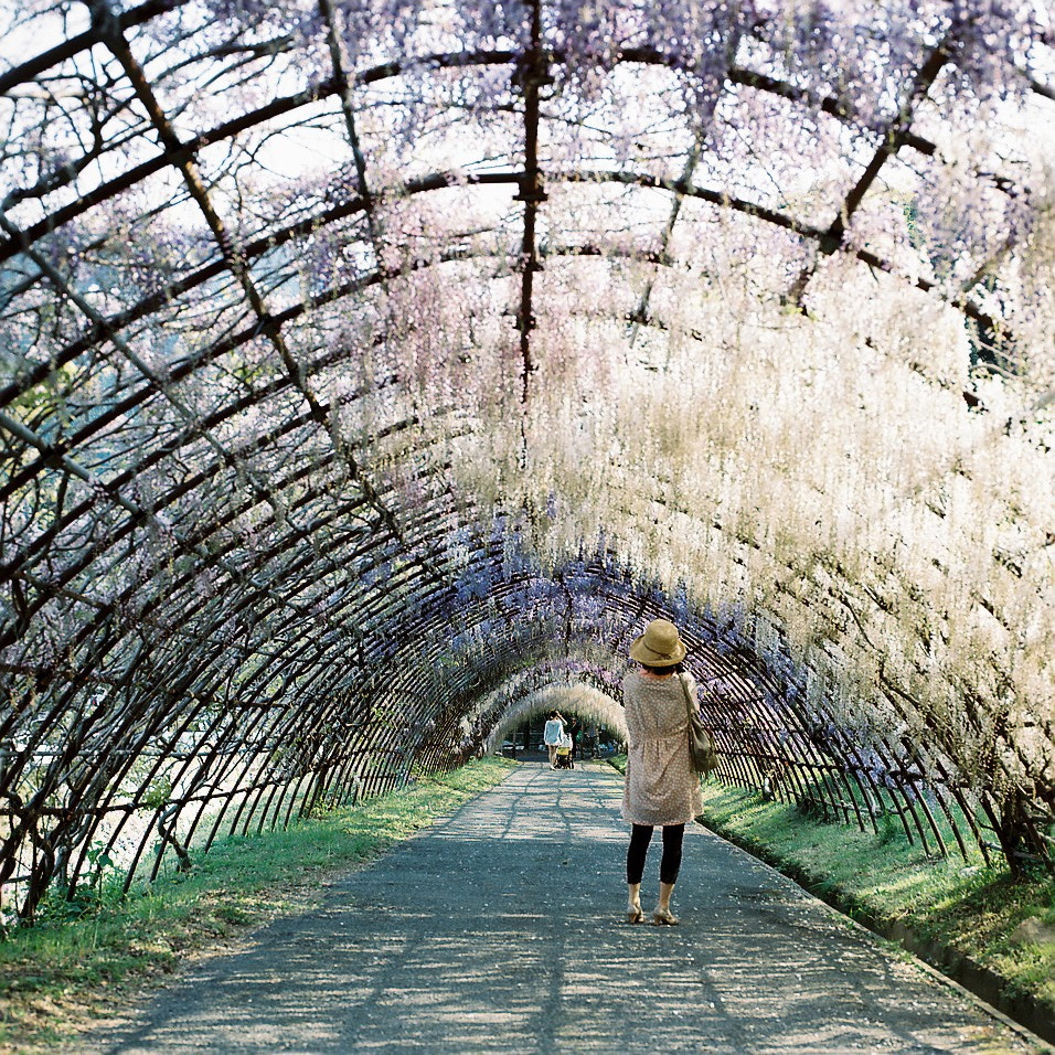 Photograph Wisteria tunnel by Shoichi Yamakawa on 500px