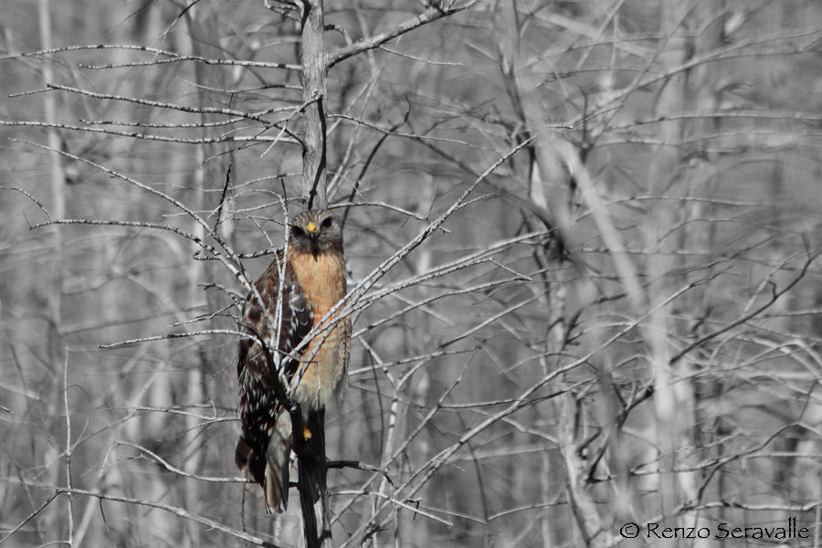 Photograph Red Shouldered Hawk by Renzo  Seravalle on 500px