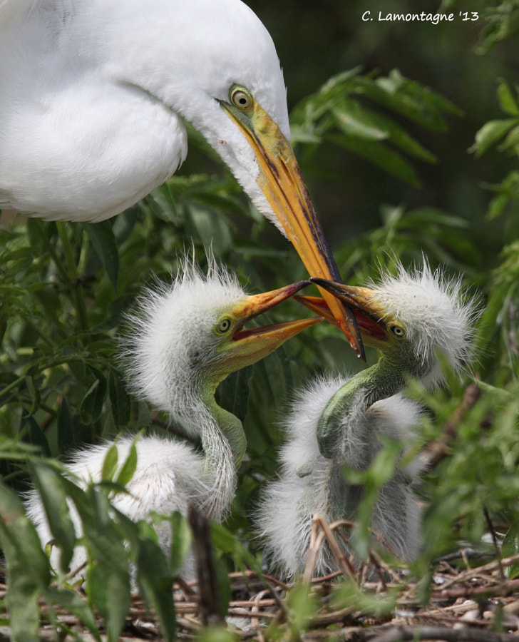 "Great egret chicks anxiously awaiting mom to fill their bellies. Dad would fly in with food pass it off to mom who would ""recycle"" it before feeding it to her chicks.