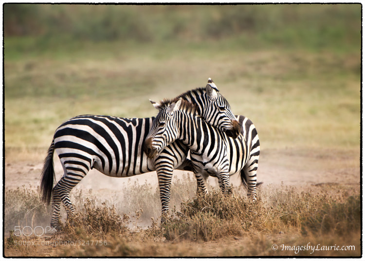 Zebra Couple (Amboseli National Park, Kenya)