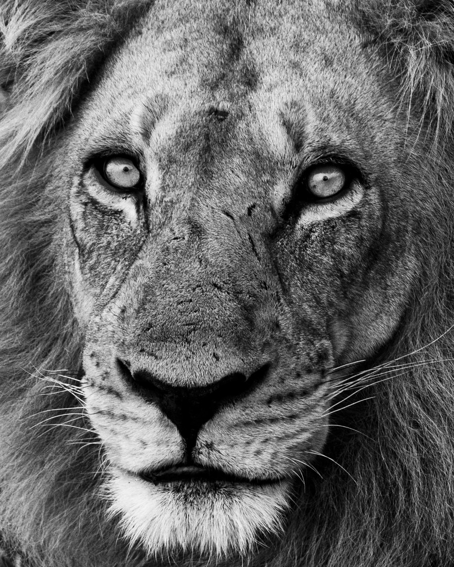 Photograph Savuti Male by Timothy Griesel on 500px