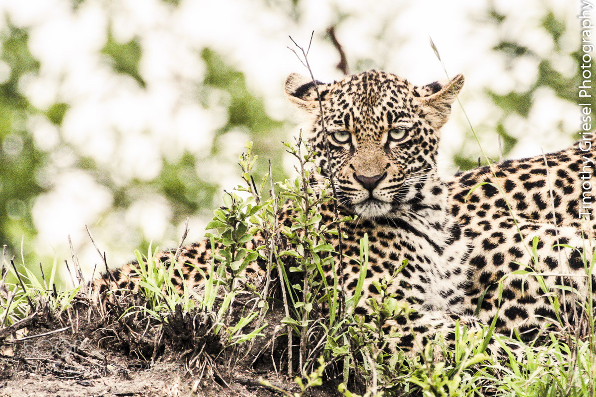 Photograph Cub's Grimace by Timothy Griesel on 500px