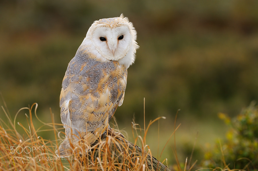 The Barn Owl is a stunningly beautiful bird with golden/buff coloured upper parts laced with silver grey and white under-parts. It has a distinctive white heart shaped face and when seen in flight the overall impression is of a large white bird. The flight is buoyant and wonderfully graceful, the wings (spanning 85cm) are much bigger than the body. A Barn Owl is fully grown from only ten weeks old, it stands 25cm tall (from head to feet) and is 33-35cm from the top of its head to the tip of its tail. Barn Owls shriek and hiss, they don't hoot (that's the Tawny Owl).  Although there is a small degree of size variation this is not sex-linked. The sexes can be difficult to tell apart, particularly in the field. Females often have darker upper surfaces and small black spots on the underside. Males usually weigh around 330g and females around 360g although during the breeding season females may weigh as much as 400g.   Barn Owls hunt mainly from the air (rather than from a perch) and have some amazing adaptations enabling them to find and catch small mammals hidden in deep vegetation in the dark. They don't generally venture into dense woodland but will forage over any open habitat that supports a population of small mammals. Barn Owls may roost or nest in any structure or tree that meets their requirements.  (Source: The Barn Owl Trust)  Best regards, Harry