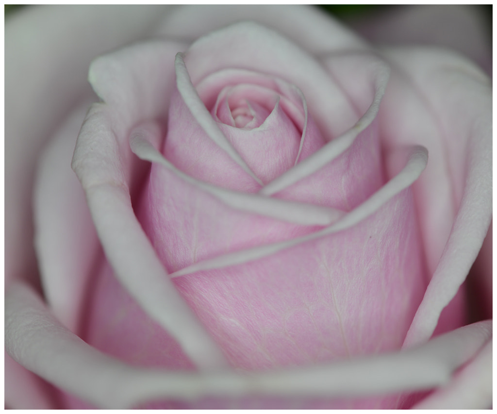 Photograph The rose... by Almqvist Photo on 500px