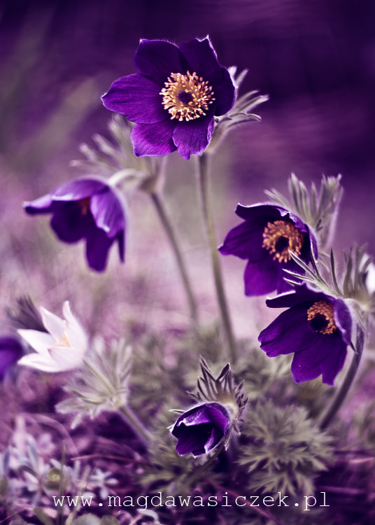 Photograph The pasque flowers by Magda Wasiczek on 500px