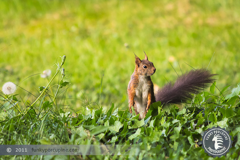Photograph Red Squirrel by Vincent Pelletier on 500px