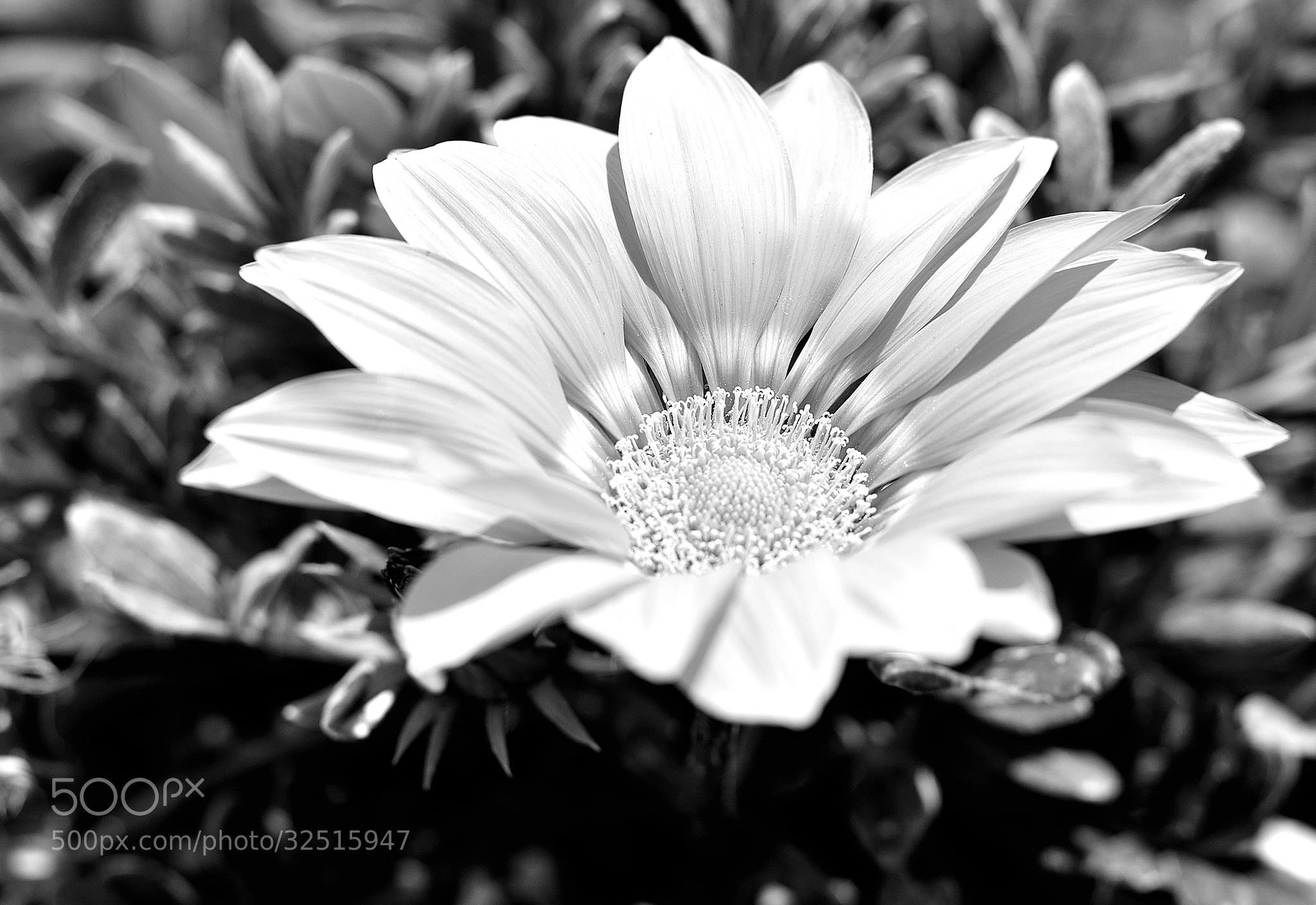 Photograph The sun flower by Patrizio Matteini on 500px