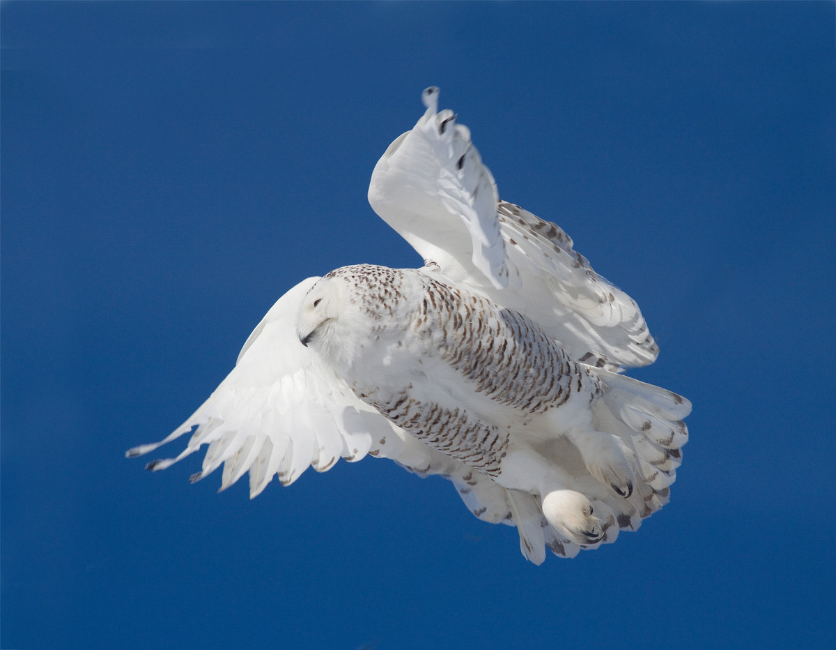 Photograph Snowy Owl in Flight by Phil Armishaw on 500px