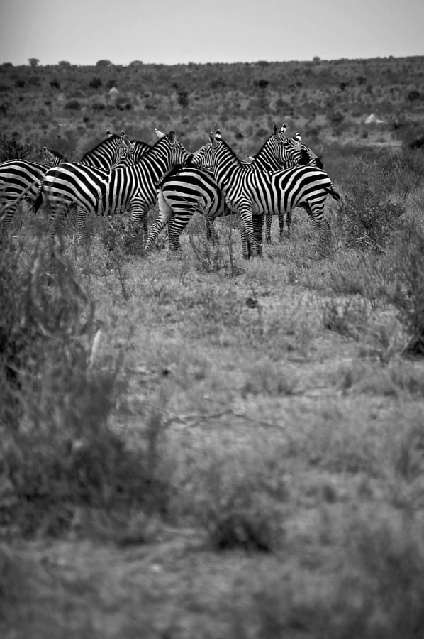 Zebra Crossing by Jack Gunns on 500px.com