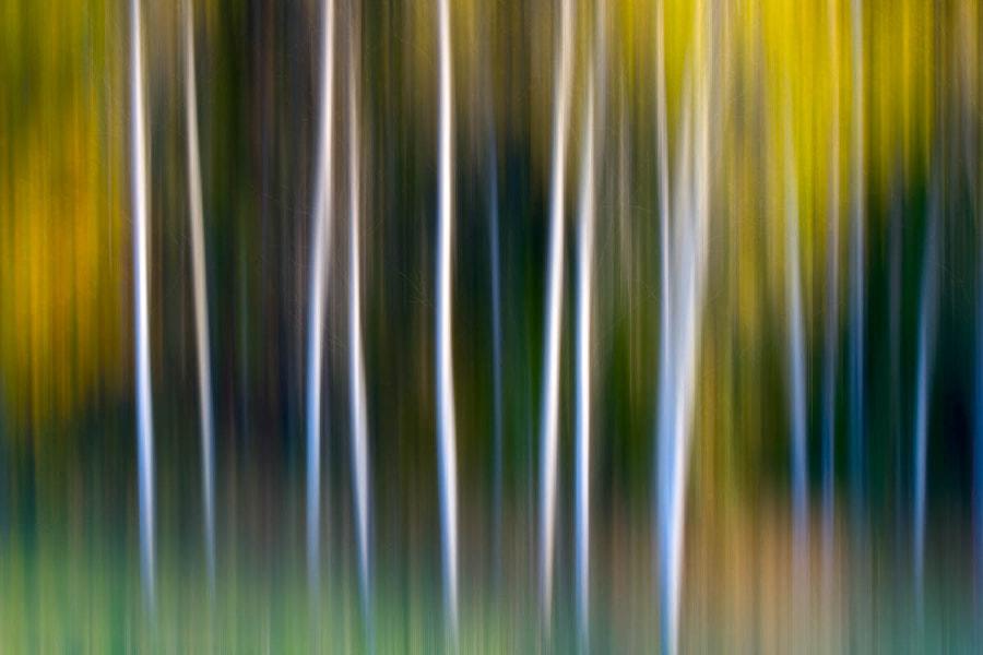 Panning Birches