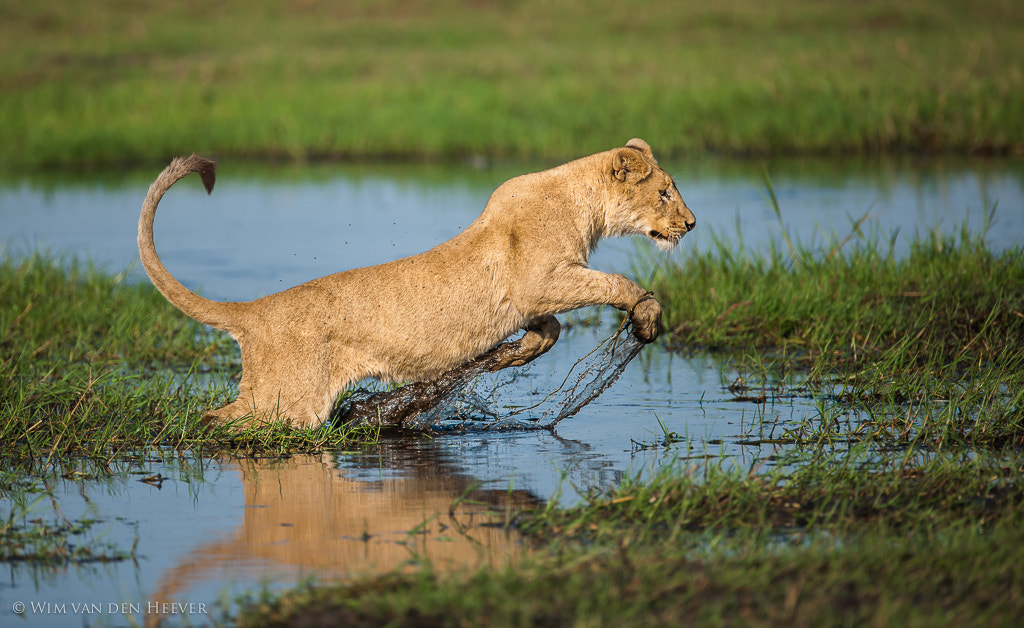 Photograph Lion Jump by Wim van den Heever on 500px