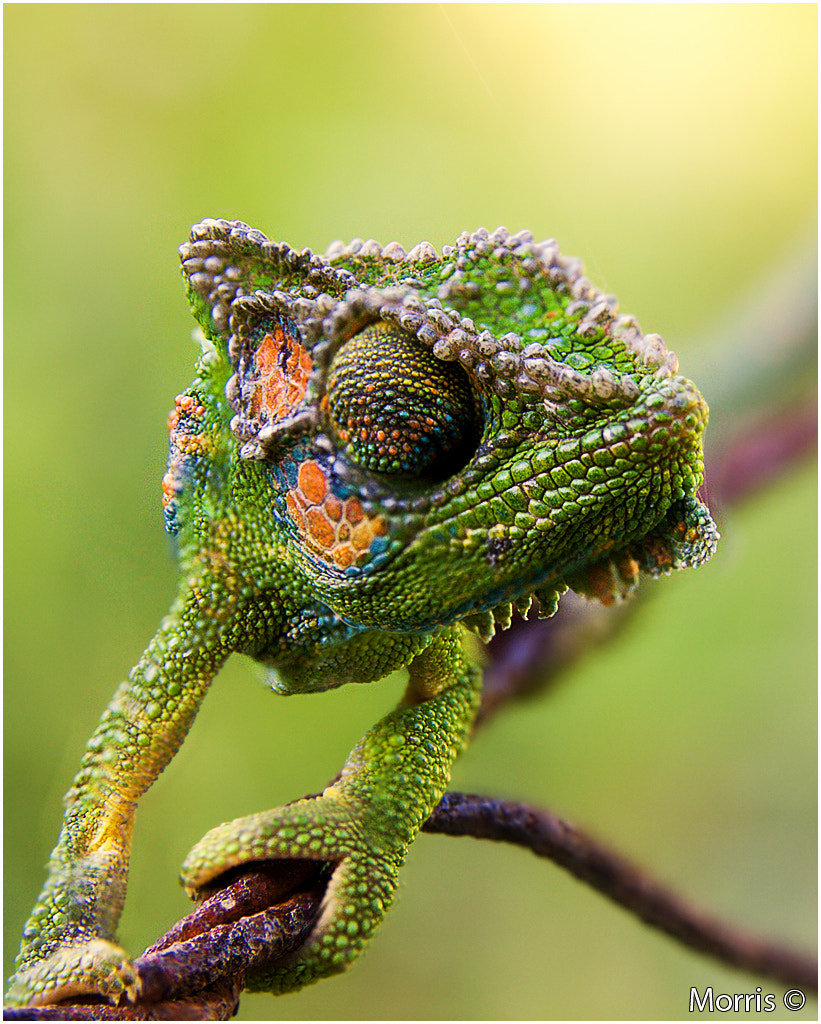 Photograph Chameleon by Dave Morris on 500px
