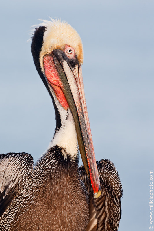 Photograph Brown Pelican : Goldfish Point : La Jolla, CA by Michael Milicia on 500px