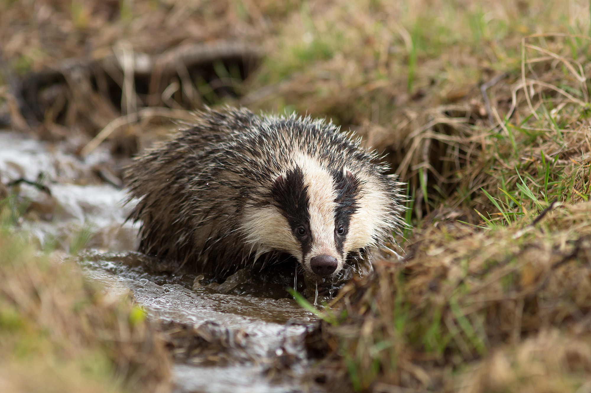 Photograph Badger by Milan Zygmunt on 500px