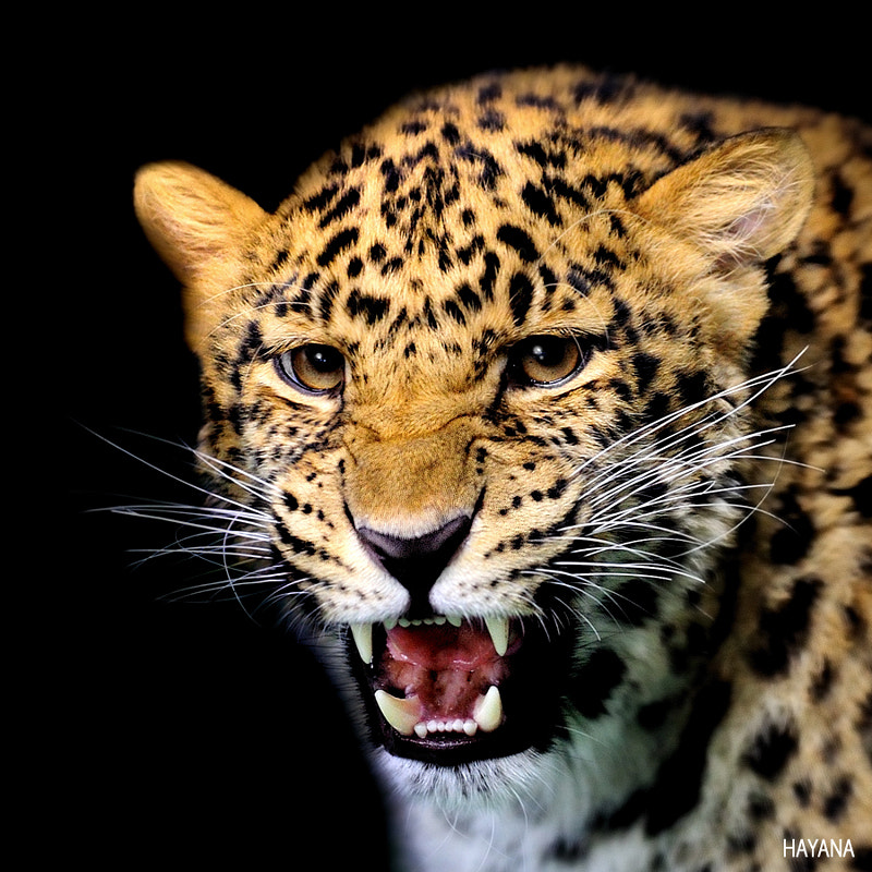 Photograph Leopard by Ryu Jong soung on 500px