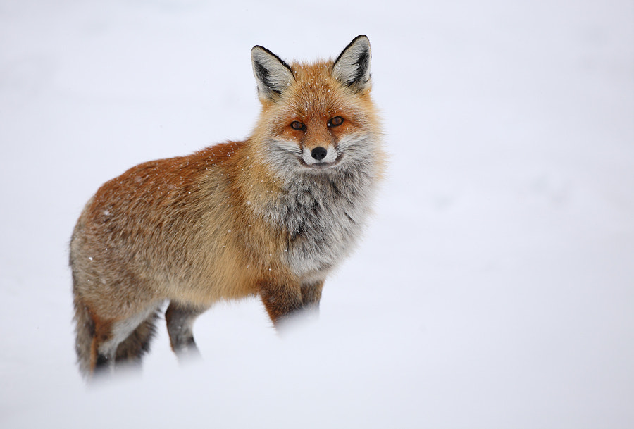 Red fox in the snow by Christian Rey on 500px.com