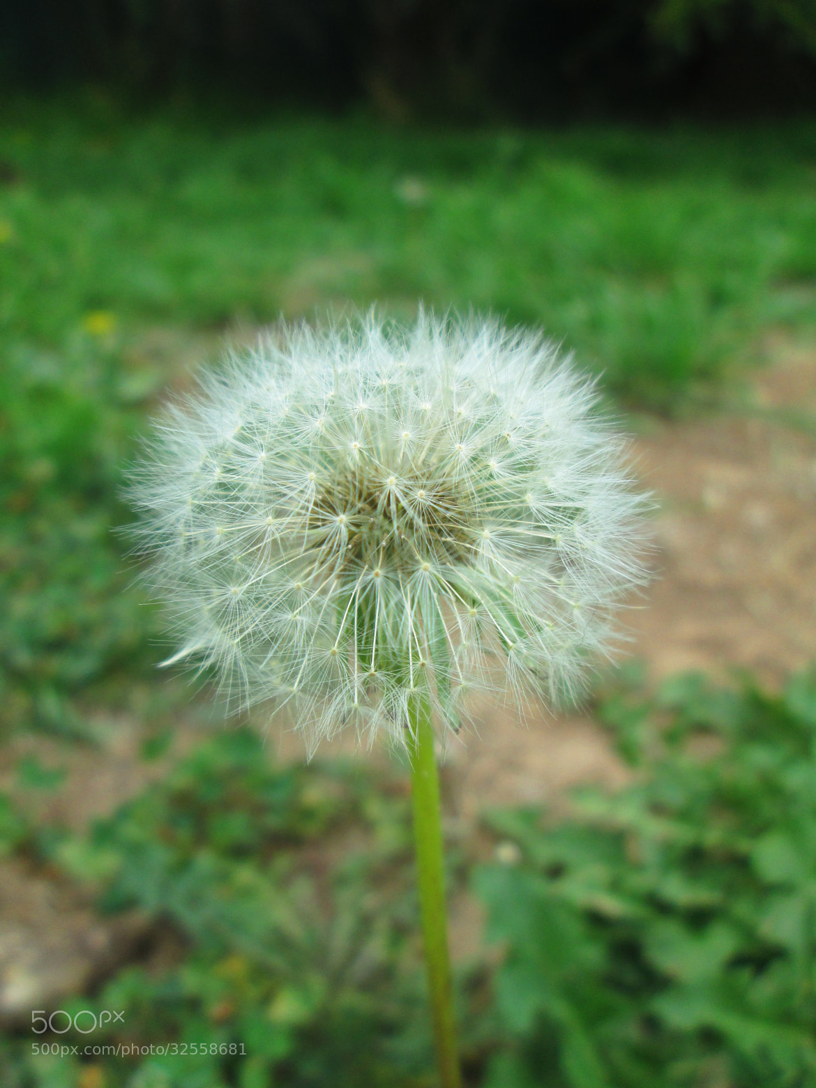 Photograph Darling Dandelion by Kayla Smith on 500px