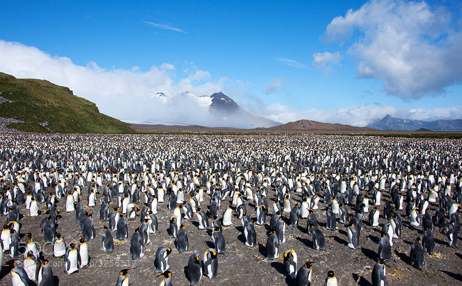 Salisbury Plain, South Georgia Island in the Southern Ocean. Home to approx. 200,000 King Penguins