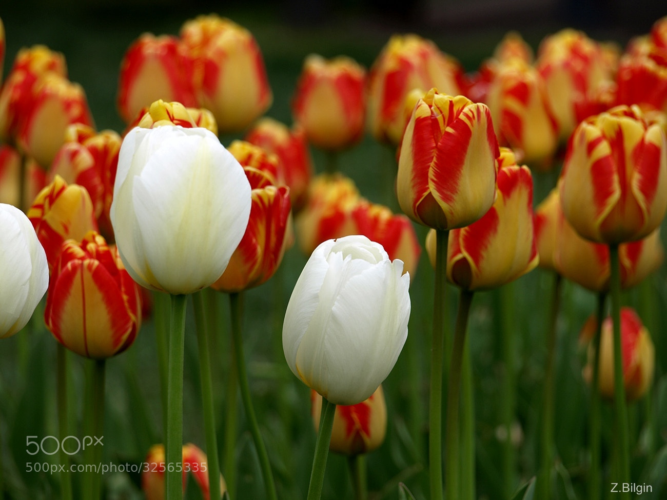 Photograph White,Yellow,Red .. by Zeki Bilgin on 500px