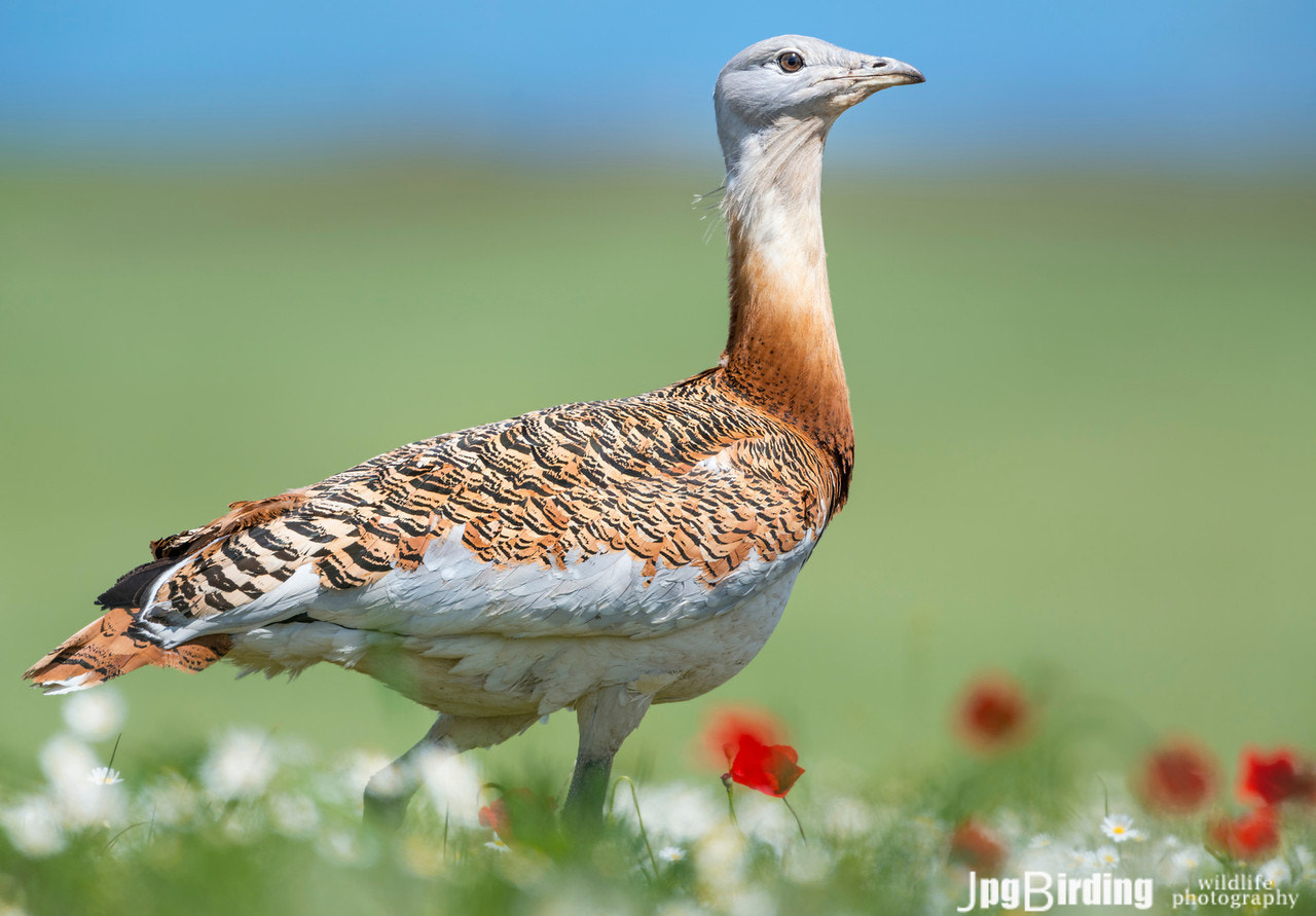 Photograph Great Bustard by jose pesquero on 500px