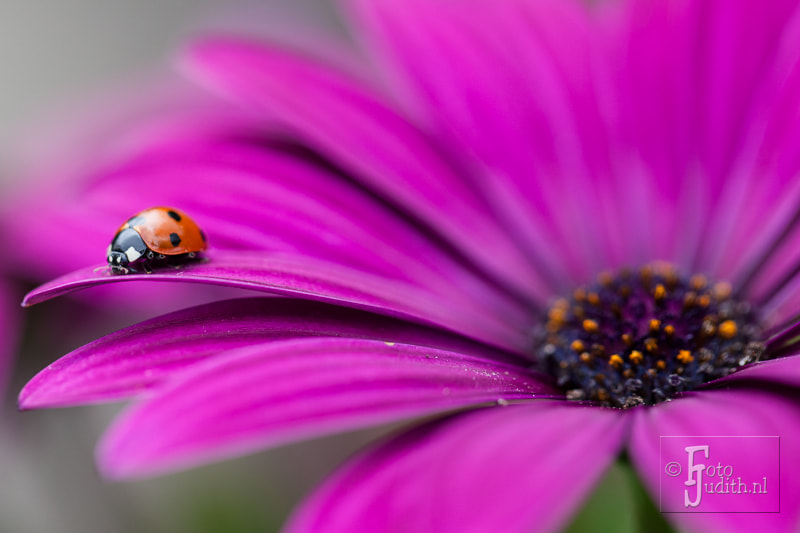 Photograph Ladybug by Judith Borremans on 500px