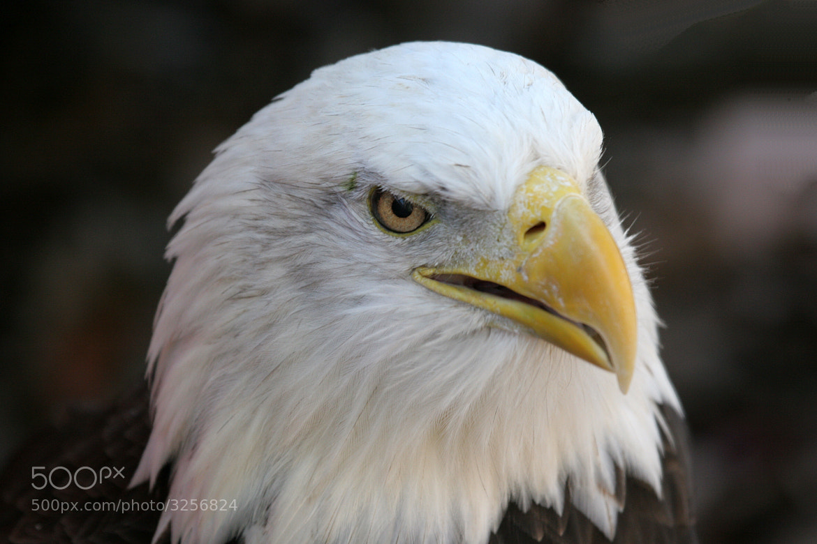 Photograph Mr. Eagle  by Rusty Wood on 500px