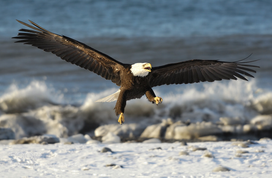 This Bald Eagle does attempt to mimic a boxer with the left talon like clenched like a fist :-)  He for sure will become a bad fighter because he a to loud shouter :-)  Shot taken at the beach of the Kachemak Bay near Homer in Alaska.  Best regards, Harry