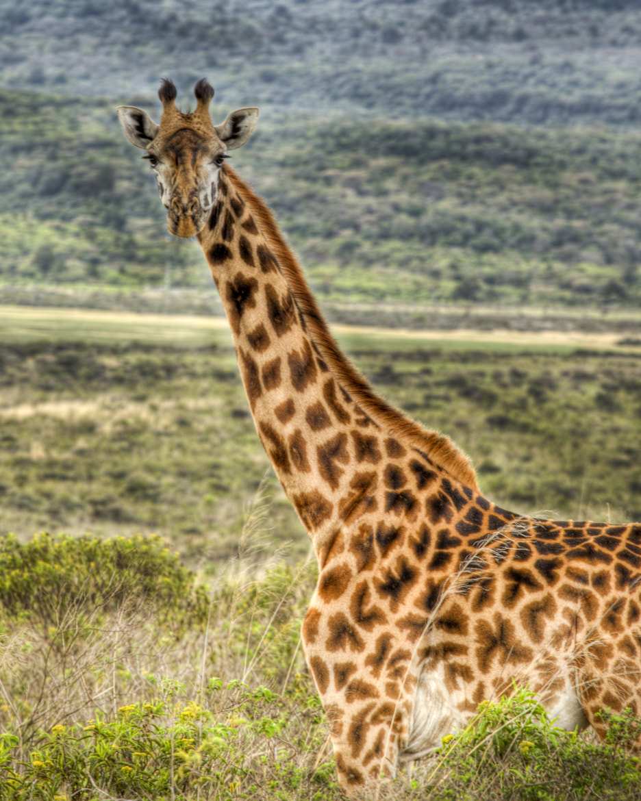 Photograph Giraffe in Arusha National Park by Jim Lopes on 500px