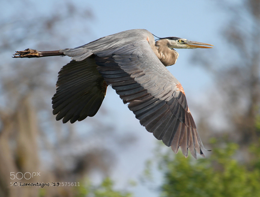 Great Blue Heron at Circle B Bar Reserve in Lakeland, Florida.