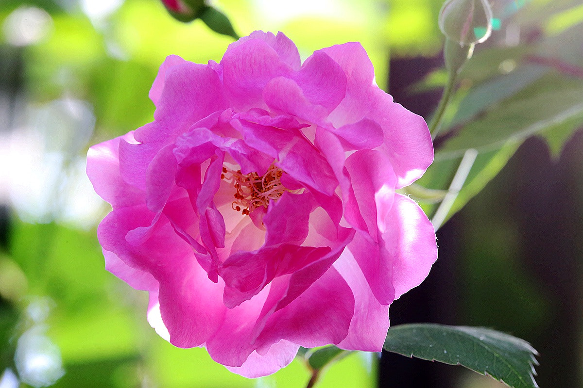 Photograph Rose by Ben Old Chen  on 500px