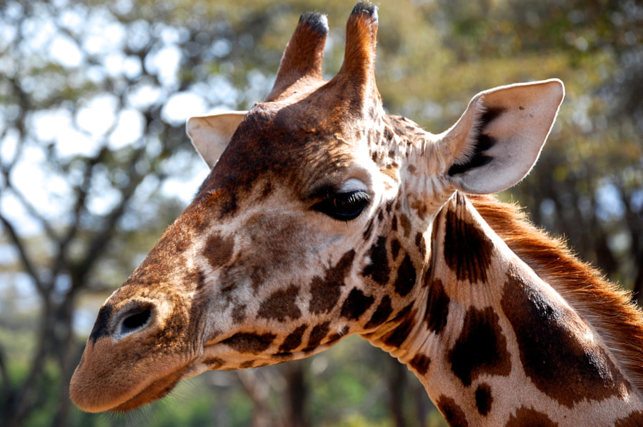 Giraffe Close Up by Jack Gunns on 500px.com