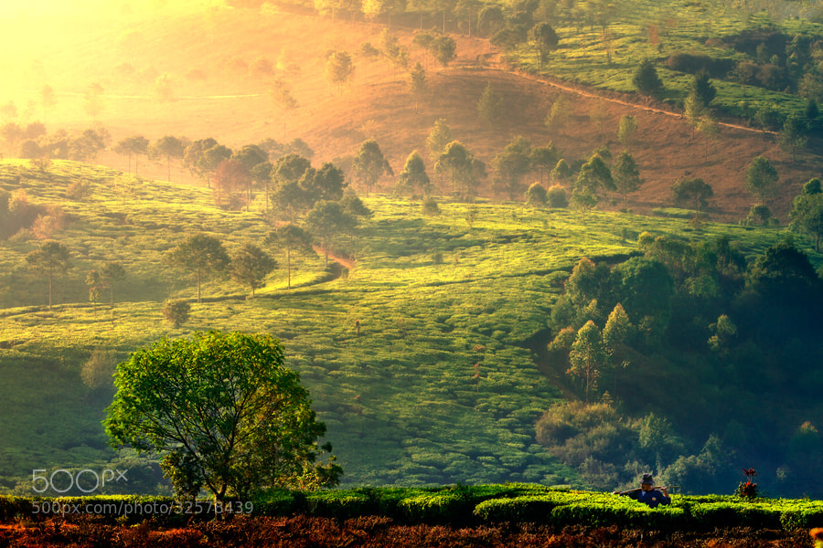 Photograph Tea garden.. by Vincent Chung on 500px