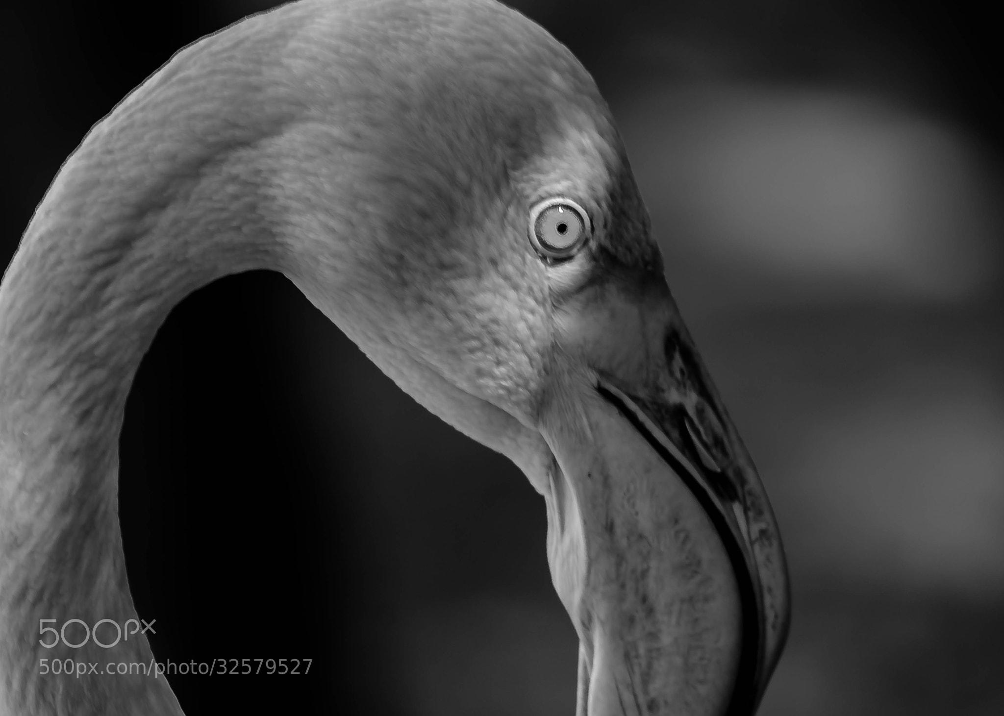 Photograph The Flamingo by julian john on 500px