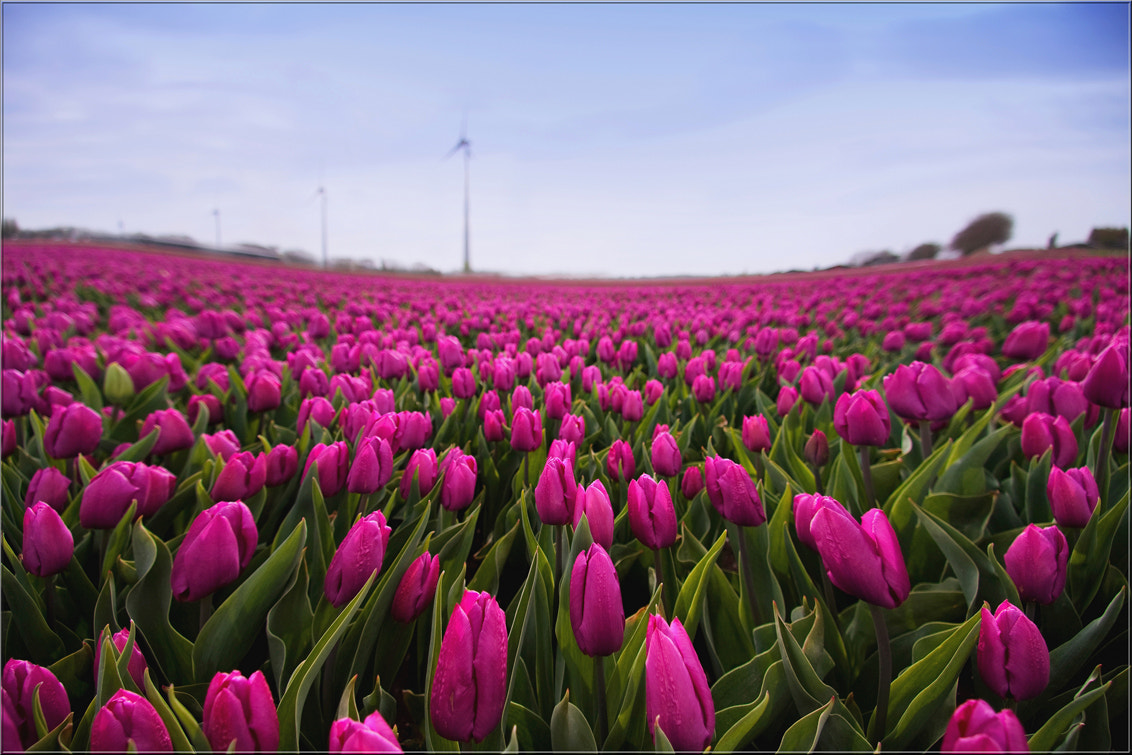 Photograph Dancing Tulips by Wil Mijer on 500px