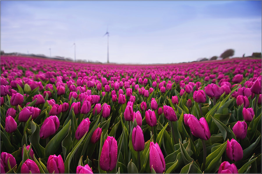 Dancing Tulips by Wil Mijer on 500px